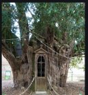 French old large Yew tree.jpg